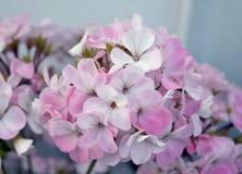 天竺葵瓣喇叭花树颜色杜鹃花叶子开花的淡紫色红色植物群灌木秀丽紫色夏天绿色花卉植物flowe 库存照片