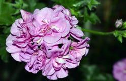 天竺葵瓣喇叭花树颜色杜鹃花叶子开花的淡紫色红色植物群灌木秀丽紫色夏天绿色花卉植物flowe 库存图片
