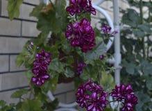 天竺葵瓣喇叭花树颜色杜鹃花叶子开花的淡紫色红色植物群灌木秀丽紫色夏天绿色花卉植物flowe 图库摄影
