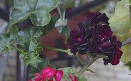 天竺葵瓣喇叭花树颜色杜鹃花叶子开花的淡紫色红色植物群灌木秀丽紫色夏天绿色花卉植物flowe 免版税库存图片