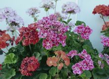 天竺葵瓣喇叭花树颜色杜鹃花叶子开花的淡紫色红色植物群灌木秀丽紫色夏天绿色花卉植物flowe 免版税库存照片