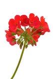天竺葵红色 免版税图库摄影