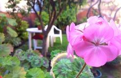 天竺葵hortorum在庭院里 免版税库存照片