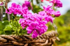 天竺葵peltatum 库存照片