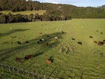 天线、新西兰母牛和绵羊在日落 免版税库存图片