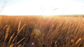 天线:金黄草的领域在日落的 照相机通过麦子的耳朵往落日的移动在天际 它 股票视频