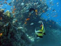 天线butterflyfish 免版税图库摄影