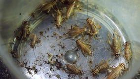 天线pespective在遏制的多只蟋蟀 影视素材