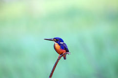 天蓝色的翠鸟 库存照片