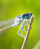 天蓝色的蜻蜓关闭 库存照片
