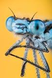 天蓝色的蜻蜓, Coenagrion puella 库存照片