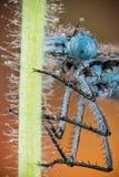 天蓝色的蜻蜓, Coenagrion puella 库存图片