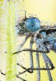 天蓝色的蜻蜓, Coenagrion puella 免版税库存图片