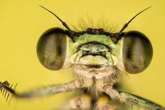 天蓝色的蜻蜓, Coenagrion puella 免版税库存照片