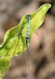 天蓝色的蜻蜓 库存照片
