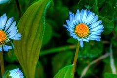 天蓝色的雏菊 免版税库存照片