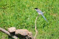 天蓝色的鹊飞过了 免版税库存图片