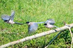 天蓝色的鹊飞过了 库存图片