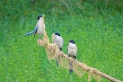 天蓝色的鹊飞过了 库存照片
