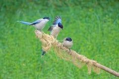 天蓝色的鹊飞过了 免版税库存照片