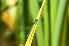 天蓝色的蜻蜓坐草 图库摄影