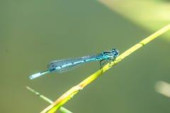 天蓝色的蜻蜓坐草 免版税库存照片