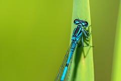 天蓝色的蜻蜓坐草 库存图片