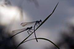 天蓝色的蜻蜓夫妇在早晨时间的 免版税库存图片