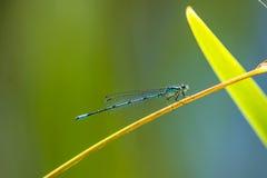 天蓝色的蜻蜓开会 库存照片