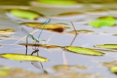 天蓝色的蜻蜓,联接的过程 库存照片