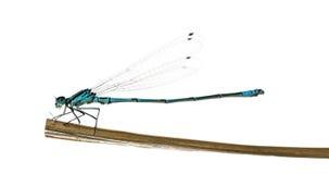 天蓝色的蜻蜓, Coenagrion puella 免版税图库摄影