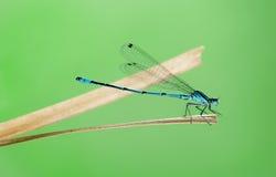 天蓝色的蜻蜓, Coenagrion puella 图库摄影