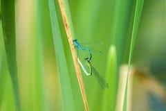 天蓝色的蜻蜓, reprodcution,联接 免版税库存照片