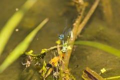 天蓝色的蜻蜓, reprodcution,联接 库存图片