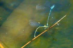 天蓝色的蜻蜓, reprodcution,联接 图库摄影