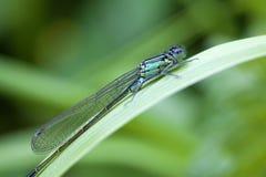 天蓝色的蜻蜓-宏指令 免版税图库摄影