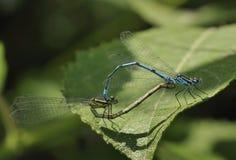 天蓝色的蜻蜓 库存图片
