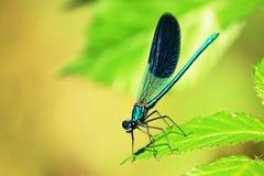 天蓝色的蜻蜓 免版税库存图片