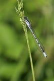 天蓝色的蜻蜓 免版税图库摄影