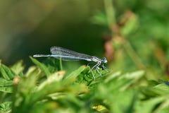 天蓝色的蜻蜓coenagrion puella 免版税库存照片