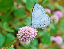 天蓝色的蝴蝶春天 免版税库存照片