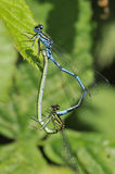 天蓝色的coenagrion蜻蜓puella 库存照片