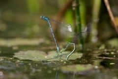 天蓝色的coenagrion蜻蜓puella 免版税库存照片