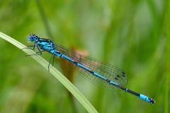 天蓝色的coenagrion蜻蜓puella 免版税库存图片