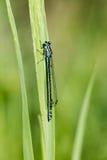 天蓝色,南部的蜻蜓, Coenagrion puella,在湖的蜻蜓 免版税库存图片