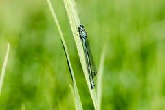 天蓝色,南部的蜻蜓, Coenagrion puella,在lakesi的蜻蜓 库存照片