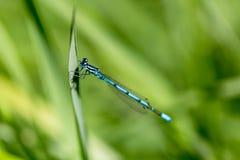 天蓝色,南部的蜻蜓, Coenagrion puella,在lakesi的蜻蜓 免版税库存图片