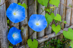 天蓝色,牵牛花,天堂般蓝色 免版税库存照片