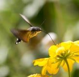 天蛾,叫作蜂鹰飞蛾,享用一朵黄色花的花蜜 蜂鸟飞蛾 Calibri飞蛾 库存照片