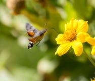 天蛾,叫作蜂鹰飞蛾,享用一朵黄色花的花蜜 免版税库存照片
